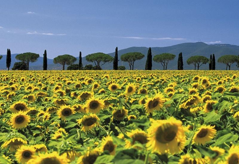 Sonnenblumen Pinien Zypressen Allee Castiglione della Pescaia